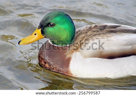 Close up of a Mallard duck male with his distinctive markings swimming on calm blue water - stock photo