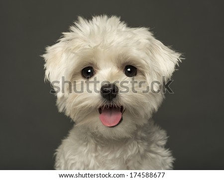 Close-up of a Maltese puppy panting, looking at the camera, isolated on a grey background - stock photo