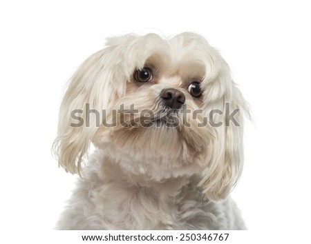Close-up of a Maltese (6 years old) - stock photo