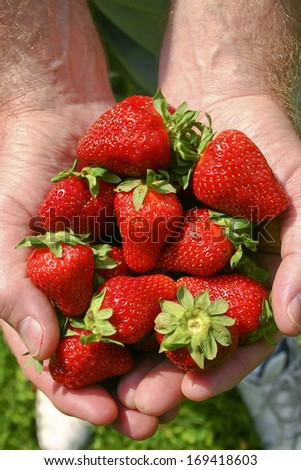 Close up of a man's hands filled with ripe, red, fresh picked strawberries in summertime - stock photo