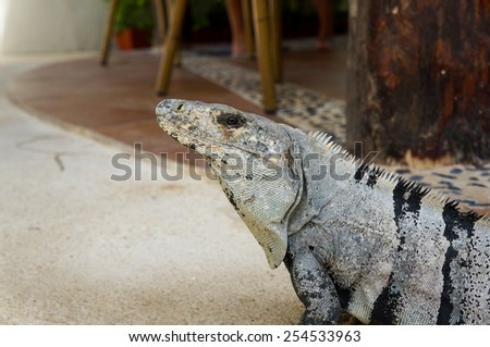 Close up of a mexican Iguana. - stock photo