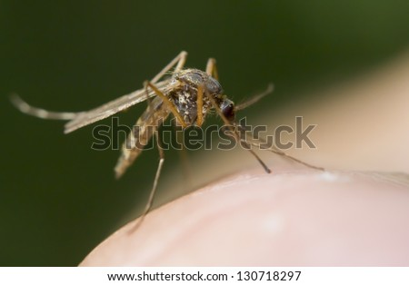 Close-up of a mosquito sucking blood - stock photo