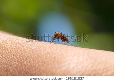 Close-up of a mosquito sucking blood in rainforests. - stock photo