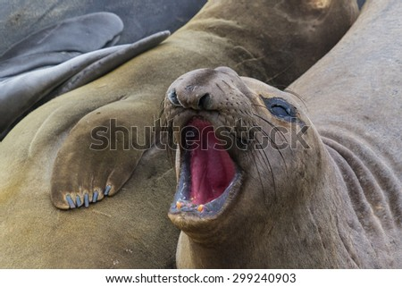 Close up of a northern elephant seal on the California coast - stock photo