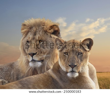Close Up of a Pair of Young African Lions Resting at Sunset  - stock photo