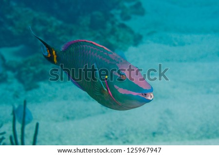 Close-up of a Parrotfish on a coral reef in the Bahamas - stock photo