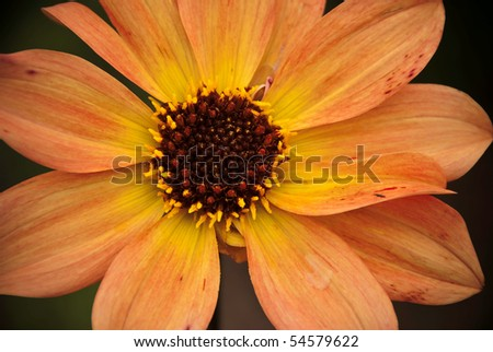 Close up of a peach blooming Dahlia flower with a dark brown heart - stock photo