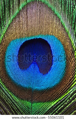 Close up of a peacock feather. - stock photo