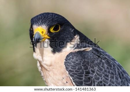 Close up of a Peregrine Falcon - stock photo
