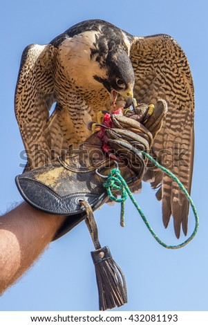 Close up of a peregrine falcon. Dubai Desert Conservation Reserve, United Arab Emirates - 03/JUL/2016 - stock photo