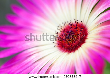 Close Up Of A Pink Daisy Flower On A Flower Meadow Postcard Motive Or Background Motive - stock photo