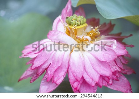 close up of a pink lotus flower and seedpod in full bloom - stock photo