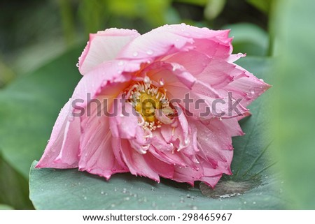 close up of a pink lotus flower and seedpod in full bloom in raining - stock photo