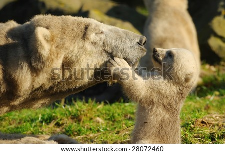 close-up of a polar bear and her cute cub - stock photo