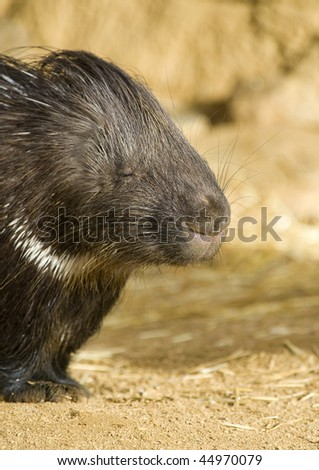 Close-up of a Porcupine Sleeping - stock photo