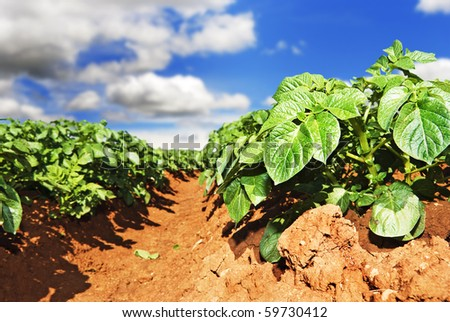 Close up of a potato field with sky and clouds - stock photo