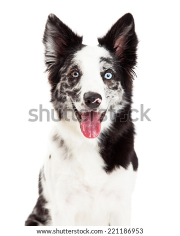 Close-up of a pretty Border Collie dog with spotted fur and blue eyes facing and looking forward with a happy expression and open mouth - stock photo