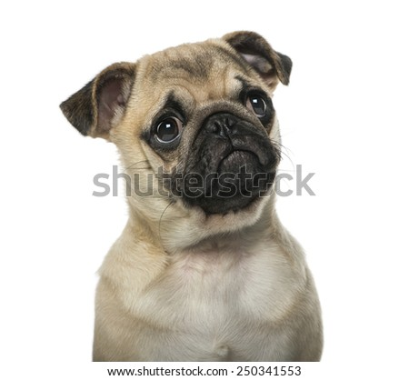 Close-up of a pug - stock photo