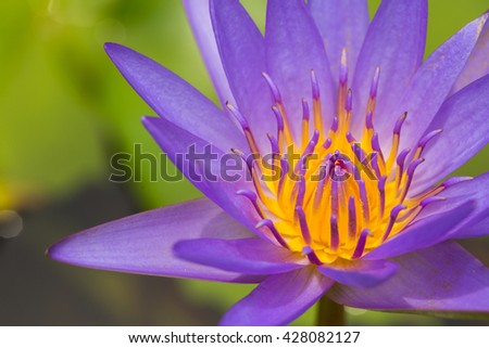 Close up of a purple water lily bloom. - stock photo
