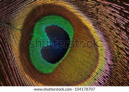 Close up of a real male peacock feather.  A detail of the eye part. - stock photo