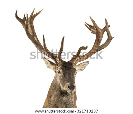 Close-up of a Red deer stag in front of a white background - stock photo