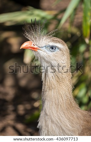 Close up of a red legged seriema. - stock photo