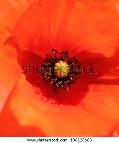 close-up of a red poppy - stock photo