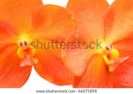 "Close up of a ""Red Scarlet"", Ascocenda Meda, orchid flowers on white - stock photo"