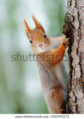 Close-up of a Red squirrel. - stock photo