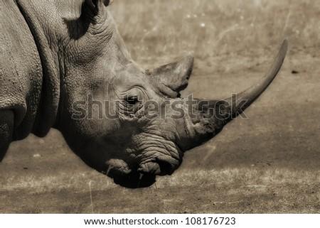 Close-up of a Rhino , Lake Nakuru, Kenya - stock photo