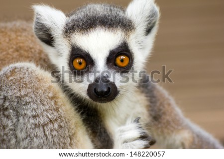 Close-up of a ring-tailed lemur - stock photo