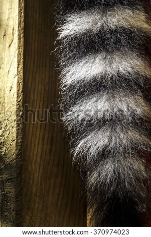 Close up of a ring-tailed lemur tail texture, macro, black and white, background  - stock photo