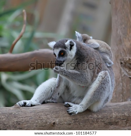 close-up of a ring-tailed lemur with her cute baby - stock photo