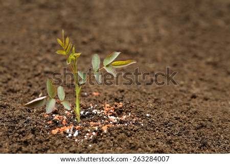 Close up of a rose plant in fertile soil with chemical fertilizer - stock photo