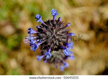 close up of a Salvia columbariae - stock photo