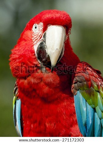 close up of a scarlet macaw (ara macao) - stock photo