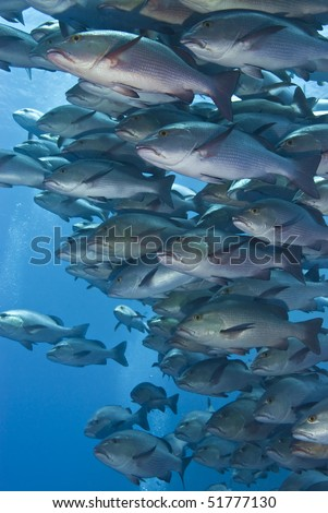 Close-up of a school of Twinspot snappers (Lutjanus bohar). Shark reef, Red Sea, Egypt. - stock photo