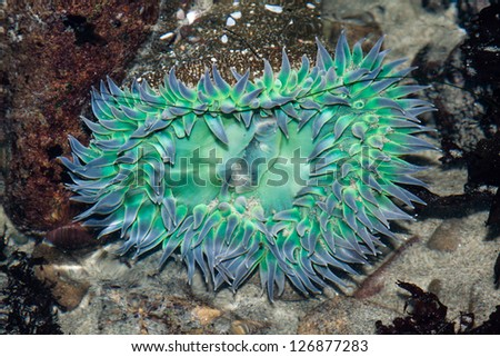 Close up of a Sea anemone in shallow water - stock photo