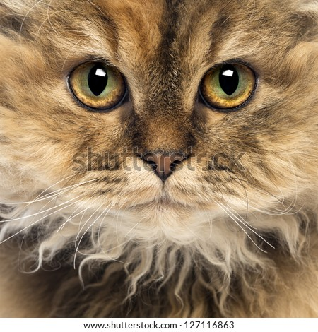 Close-up of a Selkirk Rex, 5 months old, looking at camera - stock photo