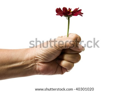 Close up of a senior woman's hand holding a dark red flower by the stem, isolated on a white background. - stock photo