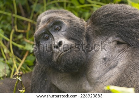 Close-up of a Silverback Mountain Gorilla in Bwindi Impenetrable National park in Uganda - stock photo