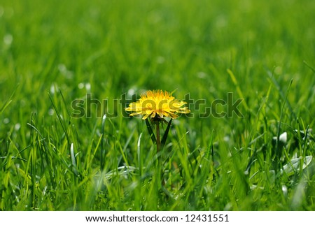 Close up of a single bright yellow dandilion in a luminous green lawn - stock photo