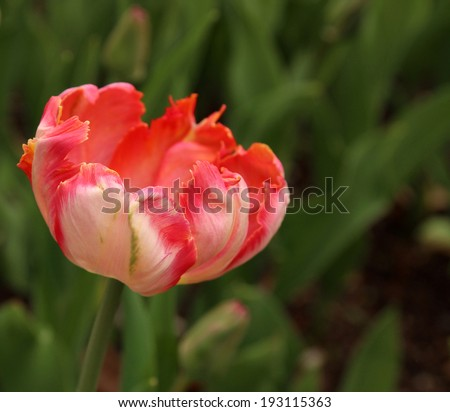 Close up of a single pink tulip in bloom, Apricot Parrot variety, at the Tulip Festival in Ottawa, Canada. - stock photo