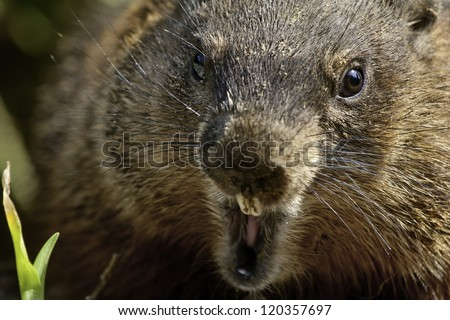 Close-up of a snarling Groundhog. - stock photo