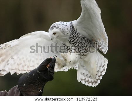 Close up of a Snowy Owl in flight - stock photo