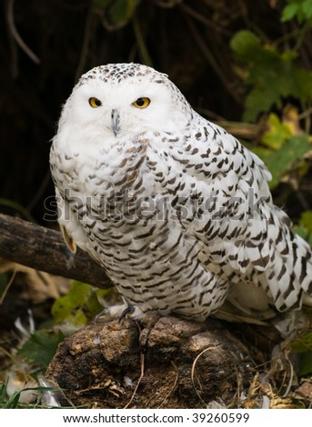 Close up of a snowy owl perching on a branch in the summertime - stock photo