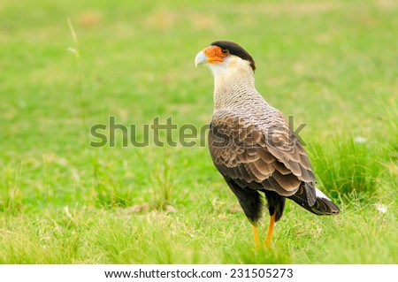 Close up of a Southern Crested Caracara (Caracara plancus) standing in the grass. Patagonia, Argentina, South America. - stock photo