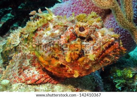 Close-up of a Spotted Scorpionfish (Scorpaena Plumieri), Cozumel, Mexico - stock photo