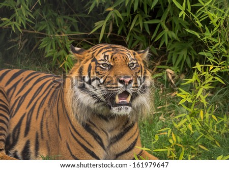 Close-up of a Sumatran tiger showing his fangs - stock photo