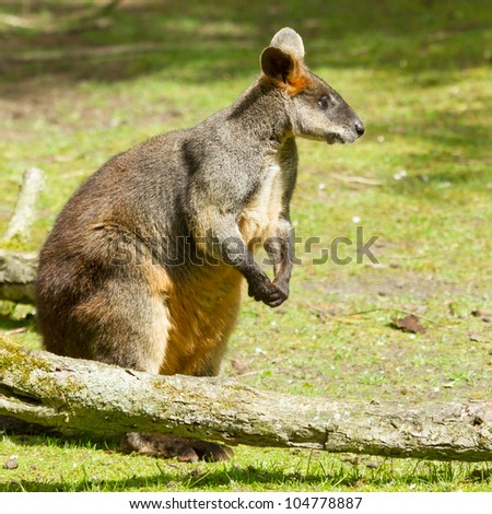 Close-up of a swamp wallaby in a dutch zoo - stock photo